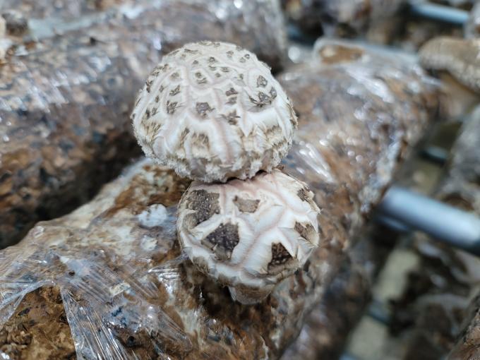 2021년 첫 마송버섯 재배중